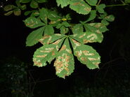 Cameraria ohridella - Horse-chestnut Leaf-miner (mine)