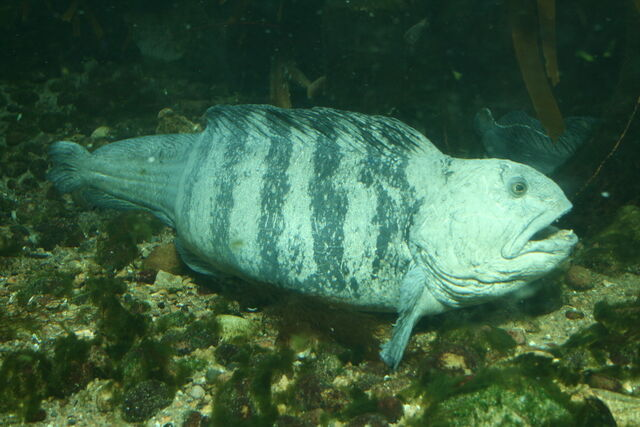 File:Wolf Fish.jpg