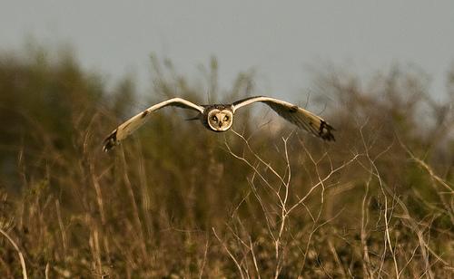 File:Short-Eared Owl.jpg