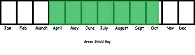 Green Shieldbug TL