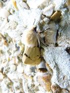 Spilosoma luteum ~ Buff Ermine