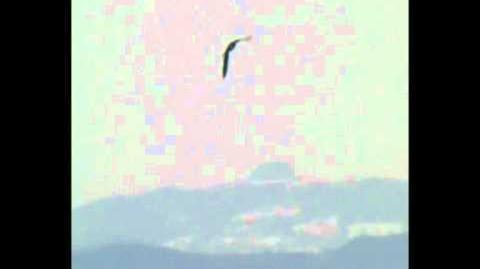 Pergrine Falcon at Slimbridge