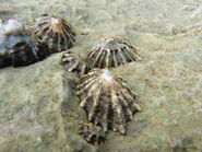Patella vulgata ~ Common Limpet