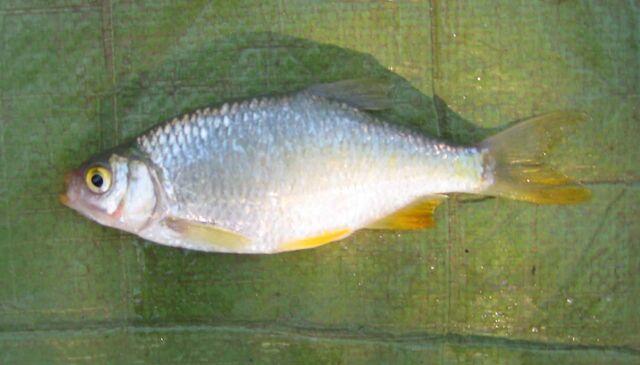 File:Lemon-finned Rudd or Azurine.jpg