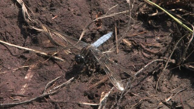 File:Keeled Skimmer.jpg
