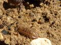 Oniscus asellus.JPG