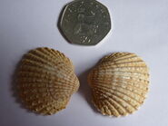 Spiny COckle 50p