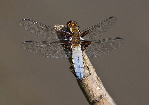File:Broad Bodied Chaser.jpg