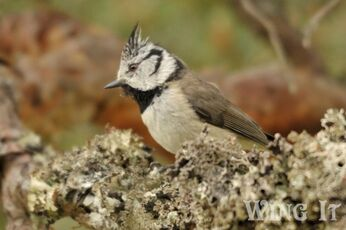 Crested Tit (S.Allen)