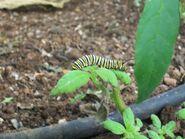 Monach Butterfly Caterpiller