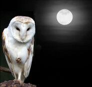 Barn Owl (2)