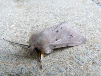 Diaphora mendica ~ Muslin Moth