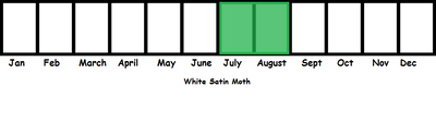 White Satin Moth TL