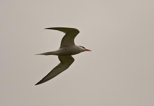 File:Common Tern.jpg