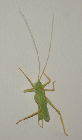 File:Oak Bush-Cricket.jpg
