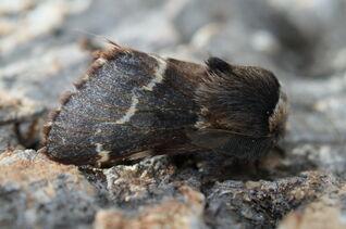 December Moth 1 (Poecilocampa populi)