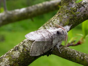 Pale tussock - photo K.Noble