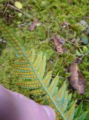 Com. Polypody Spores