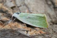 Cream-bordered Green Pea 2 (1024x685)