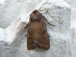 Lacanobia oleracea ~ Bright-line Brown-eye