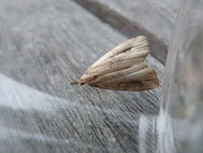 Pinion-streaked Snout