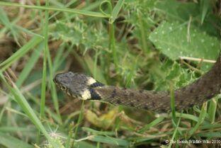 Grass snake band