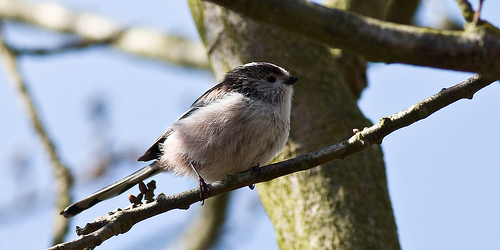 File:Long TAiled Tit.jpg
