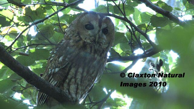 File:TAWNY OWL.jpg