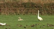 Bewick and Cygnet