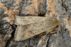 Scarce Bordered Straw 2 (Helicoverpa armigera)