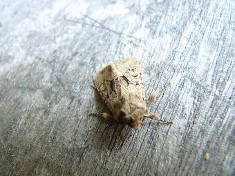 Luperina testacea ~ Flounced Rustic