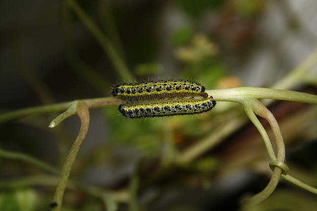 File:Cabbage white caterpillars.jpg