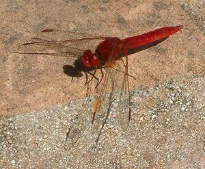 Crocothemis erythraea Scarlet Darter