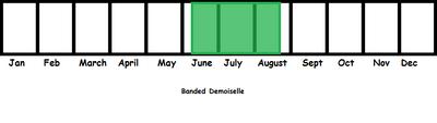 Banded Demoiselle TL