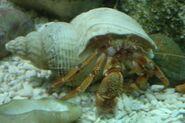 Hermit Crab front