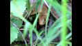 Aesculapian snake (Zamenis longissimus) in Wales.png