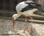 Captive White stork