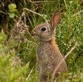 Young Rabbit.jpg