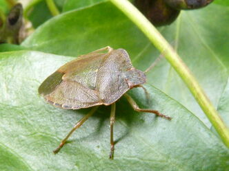 Palomena prasina ~ Green Sheildbug