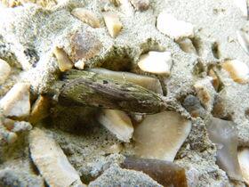 Aphomia sociella - Bee Moth