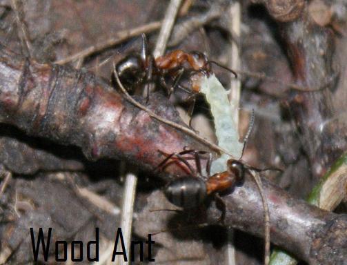 File:Wood ant.jpg