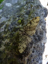Peppered Moth 22.5.12