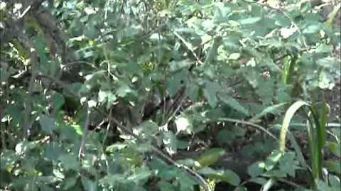 British Wildlife Clips - Grey Squirrel