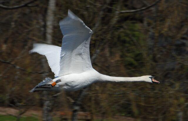 File:Mute swan.jpg