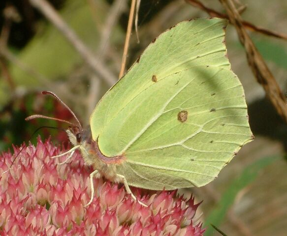 File:Brimstone.jpg
