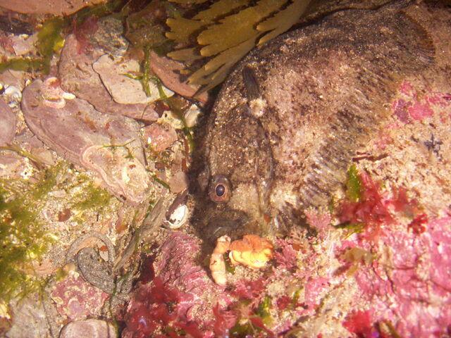 File:17 May 2007 - Zeugopterus punctatus, topknot2.jpg