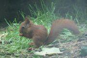 RedSquirrelJuv