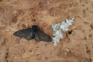 Peppered Moth nominate and f. carbonaria (800x536)