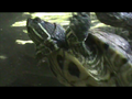 Yellow bellied slider.png
