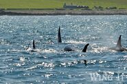 Orca Pod (S.Allen)